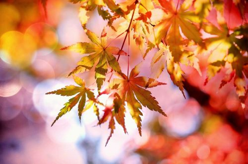 autumn fall maple